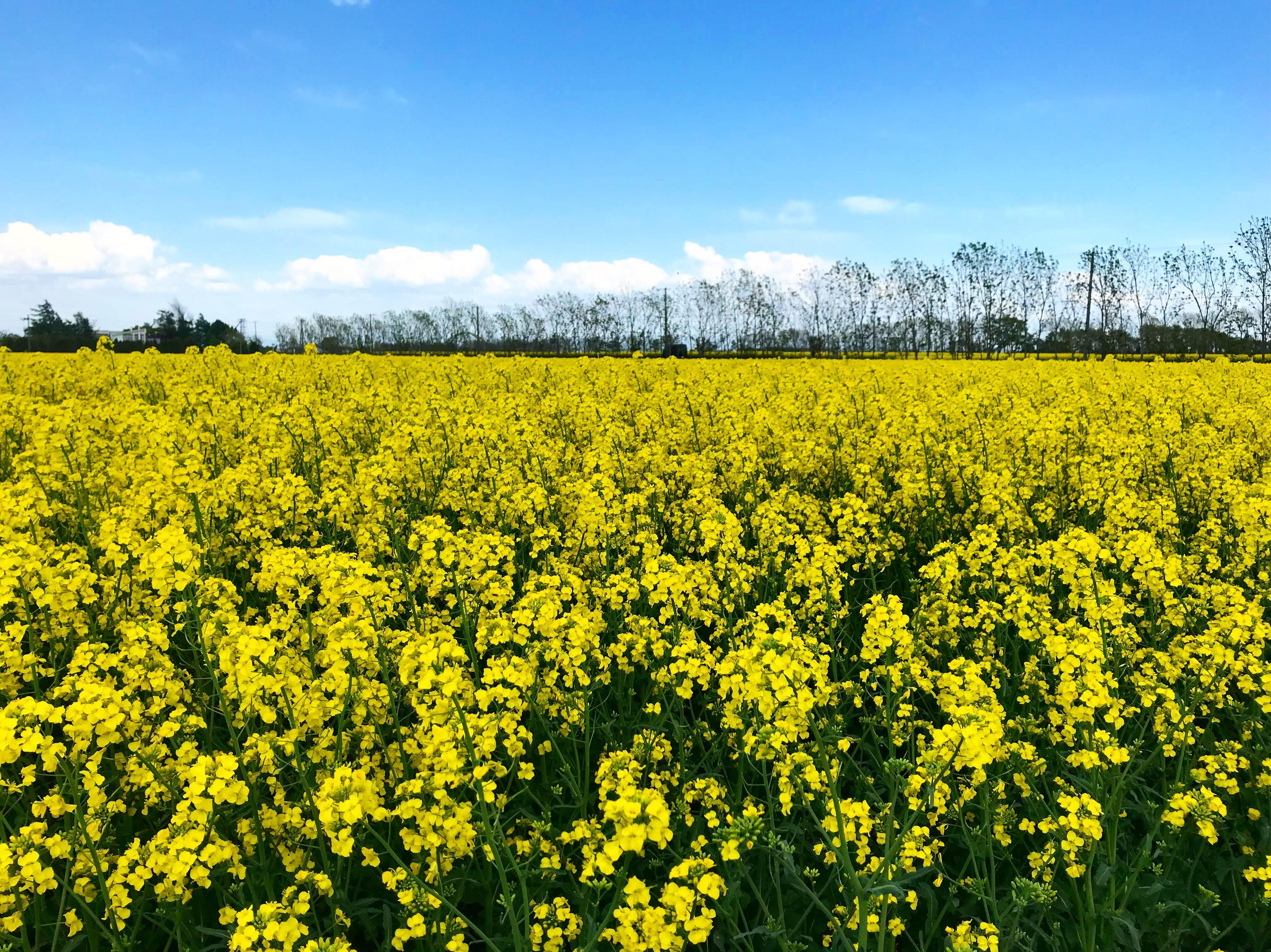 青木さんが撮影した菜の花畑